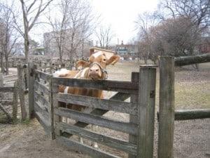 Riverdale Farm Cow, Riverdale Farm, Free Toronto, Toronto Family