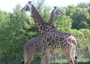Giraffes, the Toronto Zoo