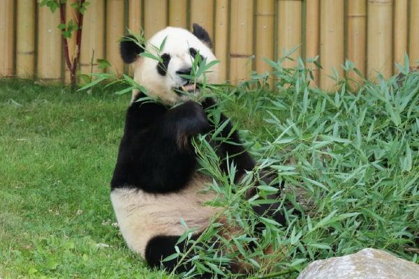 the toronto zoo, toronto zoo pandas